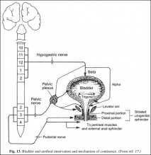 Bladder and urethral innervation and mechanism of continence