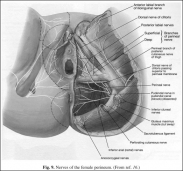 Nerves of the female perineum