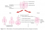 Differentiation of the external genitalia determined by androgenic stimulation