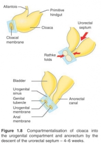 Compartmentalisation  of  cloaca  into the  urogenital  compartment  and  anorectum  by  the descent of the urorectal septum